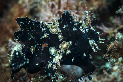 Ocellated frogfish | by Luko GR
