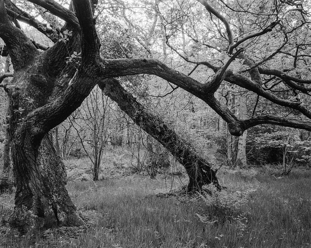 Standing Tree and Leaning Tree (Hyons Wood)