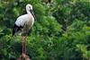 Oriental White Stork by Ryukyu Mike