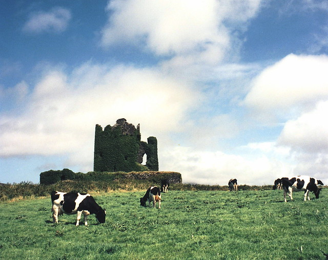 Abandoned Irish castle with cows